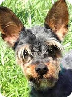 "Yorkie, Yorkshire Terrier Dog for adoption in Wakefield, Rhode Island - SIMON(ADORABLE ""TINY"" PUP!!"