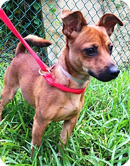 Chihuahua/Dachshund Mix Dog for adoption in Miami, Florida - Dylan