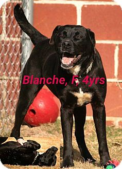 Labrador Retriever Mix Dog for adoption in East Hartford, Connecticut - Blanche