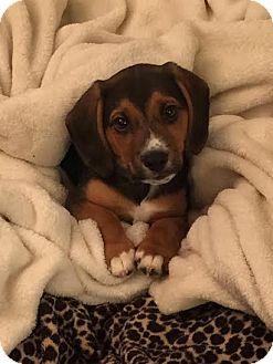 Beagle Mix Puppy for adoption in Cincinnati, Ohio - Groucho
