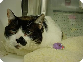 Domestic Shorthair Cat for adoption in Olympia, Washington - 42569 Pertsmart