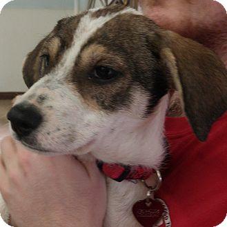 Labrador Retriever/Airedale Terrier Mix Puppy for adoption in Colorado Springs, Colorado - Eden