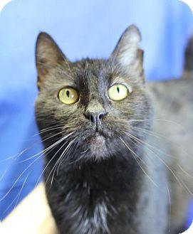 Domestic Shorthair Cat for adoption in Winston-Salem, North Carolina - Sunshine