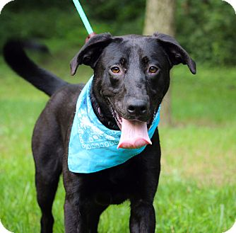 Labrador Retriever Mix Dog for adoption in Brattleboro, Vermont - Geo