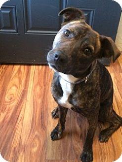 Bull Terrier/Labrador Retriever Mix Dog for adoption in Littleton, Colorado - DAISY