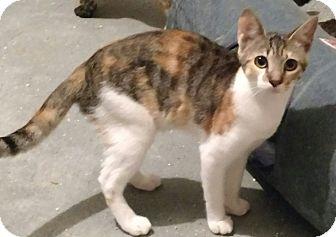 Calico Kitten for adoption in Tampa, Florida - Sadie