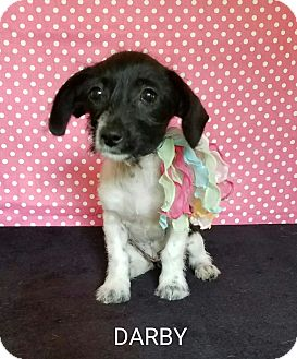 Dachshund Mix Puppy for adoption in Troutville, Virginia - Darby