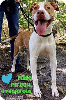Pit Bull Terrier Mix Dog for adoption in Jackson, New Jersey - Marty