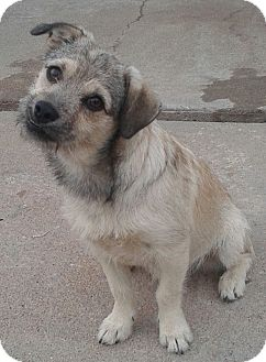 Terrier (Unknown Type, Small) Mix Dog for adoption in Manhattan, Kansas - Bo