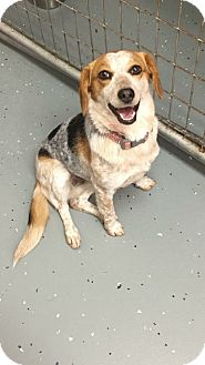 Beagle Dog for adoption in Vandalia, Illinois - Ina