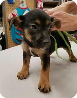 Beagle Mix Puppy for adoption in Hendersonville, North Carolina - Gretchen