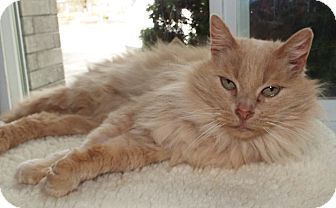 Domestic Longhair Cat for adoption in Grants Pass, Oregon - Ron Weasley