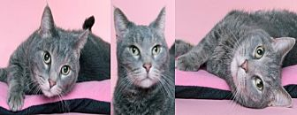 American Shorthair Cat for adoption in Chicago, Illinois - Honey