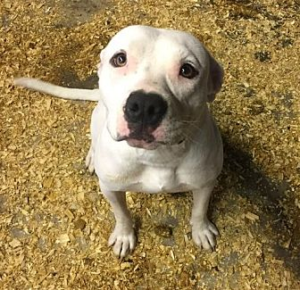American Bulldog Mix Dog for adoption in Del Rio, Texas - Snow