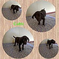 Adopt A Pet :: Cedric - Sumter, SC