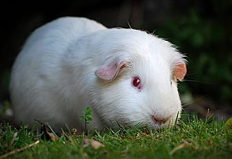 Guinea Pig for adoption in Marlton, New Jersey - Sour Cream and Onion