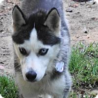 Adopt A Pet :: Miki - Holly Springs, NC