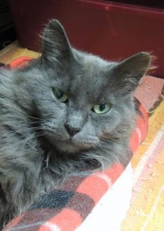 Domestic Longhair/Domestic Shorthair Mix Cat for adoption in Westville, Indiana - Aurora
