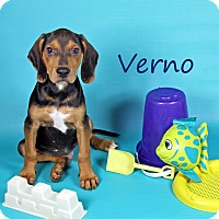 Adopt A Pet :: Verno - Joliet, IL