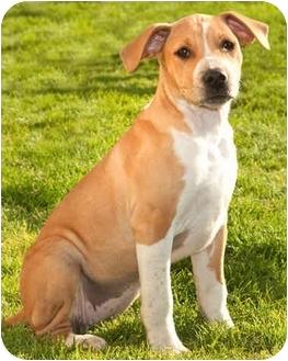 Labrador Retriever/Beagle Mix Puppy for adoption in Marina del Rey, California - Lana