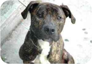 American Pit Bull Terrier Mix Dog for adoption in New York, New York - James