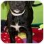 Photo 2 - American Bulldog/Labrador Retriever Mix Puppy for adoption in Struthers, Ohio - Uggs