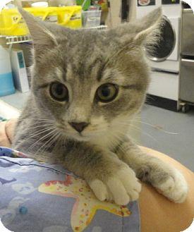 Domestic Shorthair Cat for adoption in Spruce Pine, North Carolina - Xavier