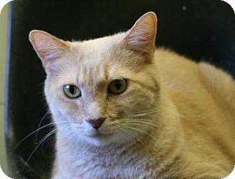 Domestic Shorthair Cat for adoption in West Des Moines, Iowa - Charlie