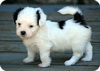 Shih Tzu Mix Puppy for adoption in Pennigton, New Jersey - Nicky