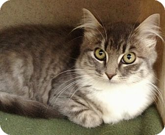 Domestic Mediumhair Kitten for adoption in Dublin, California - Babybel