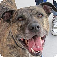 Adopt A Pet :: Tavi - Gilbert, AZ