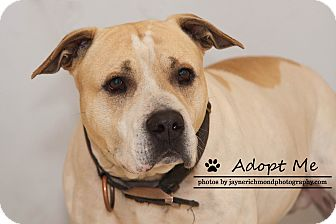 American Pit Bull Terrier Dog for adoption in Reed City, Michigan - JUSTICE