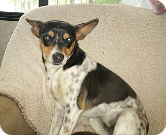 Jack Russell Terrier Mix Dog for adoption in Apex, North Carolina - Snookie