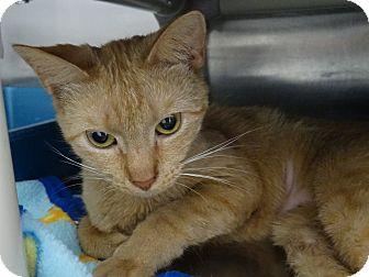 Domestic Shorthair Cat for adoption in Elyria, Ohio - Precious