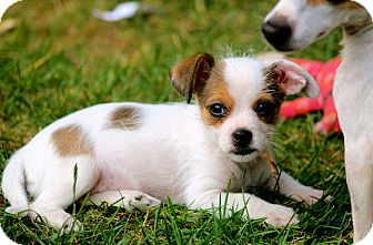 Chihuahua Mix Puppy for adoption in Naugatuck, Connecticut - Mellie