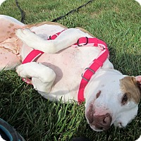 American Staffordshire Terrier/Hound (Unknown Type) Mix Dog for adoption in Boiling Springs, Pennsylvania - Delaney