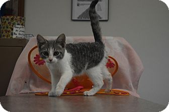 Domestic Shorthair Kitten for adoption in Hartford, Kentucky - Lexy