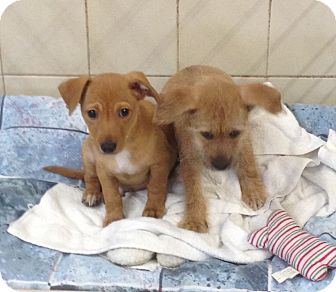 Chihuahua/Dachshund Mix Puppy for adoption in Kerrville, Texas - Chip