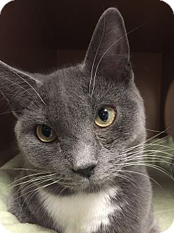 Domestic Shorthair Cat for adoption in Somerville, Massachusetts - Mickey(....is in Somerville)