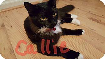 Domestic Mediumhair Kitten for adoption in Pineville, North Carolina - Callie