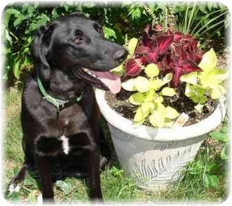 Labrador Retriever/Hound (Unknown Type) Mix Dog for adoption in Wyoming, Minnesota - Jetson- Easy!