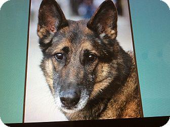 German Shepherd Dog Dog for adoption in Los Angeles, California - ROCKET VON RIESSA