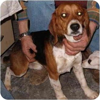 Beagle Mix Dog for adoption in Rising Sun, Indiana - Prince