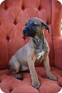 Black Mouth Cur Mix Puppy for adoption in Lincoln, Nebraska - HERMOSA