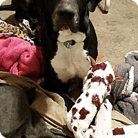 Adopt A Pet :: Thor - Stevens Point, WI