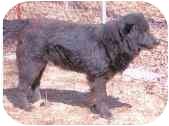 Newfoundland/Chow Chow Mix Dog for adoption in Tahlequah, Oklahoma - Riley