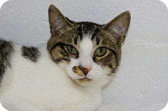 Domestic Shorthair Cat for adoption in Salem, Massachusetts - Noah