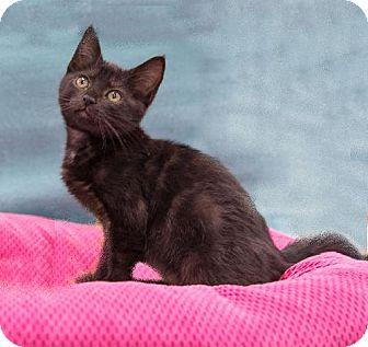 Domestic Shorthair Kitten for adoption in Tallahassee, Florida - Kit-Kat