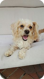 Maltese Mix Dog for adoption in Thousand Oaks, California - Julianne
