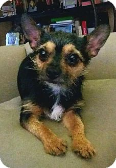 Yorkie, Yorkshire Terrier/Chihuahua Mix Dog for adoption in Andalusia, Pennsylvania - Garth